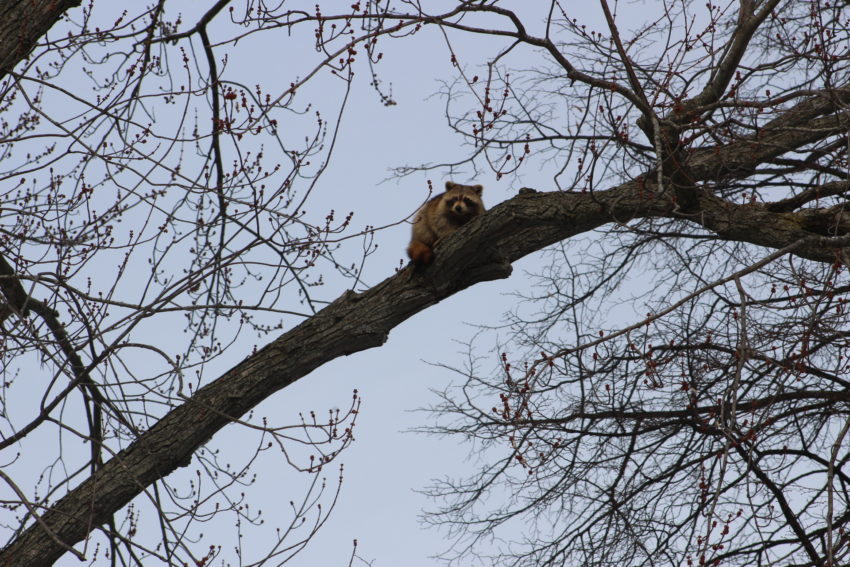 Raccoon in our Maple Tree