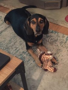 Our Bones, our black and tan coon hound